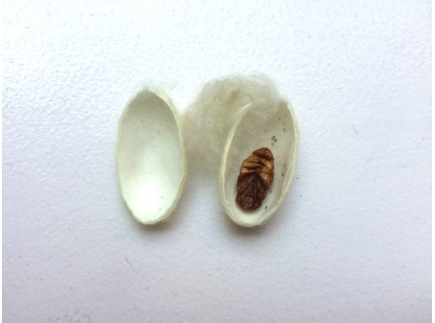 Main picture of Dissect a Silkworm Cocoon and Explore Silk Proteins