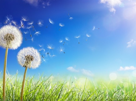 dandelions with wind