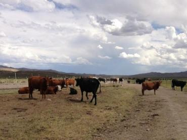 Cattle in Elko County, Nevada. Cows are large emitters of methane gas, a major source of climate change