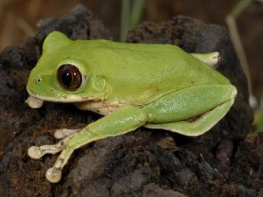 Leptopelis kivuensis is a species of frog only found in the jungles of Central Africans. Can a better understanding of their evolution save them?