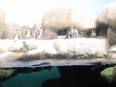 Behind the Scenes with African Penguins