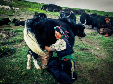 FULLSCREEN Taerlung area, Kham, 2001. Women milking dri, the female yak. Yak, also known as Nor (meaning jewel, indicating their preciousness to nomad economy), are the main livestock of the Tibetan nomads.