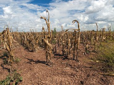 Corn shows the effect of drought in Texas on Aug. 20, 2013.