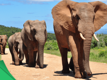 Four African elephants walking in a row along a dirt road