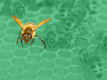 A honeybee on a honeycomb with a green background
