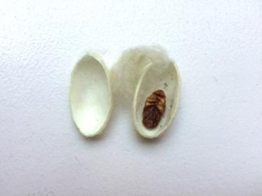 Dissect a Silkworm Cocoon and Explore Silk Proteins