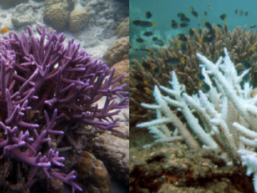 Left: Healthy staghorn coral. Right: Bleached staghorn coral.