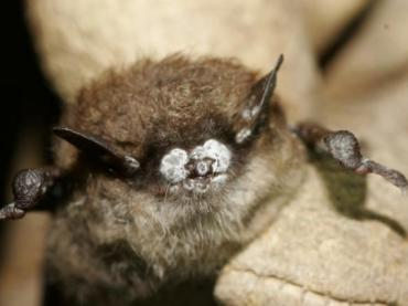 White Nose Syndrome is Killing Mammoth Cave's Bats