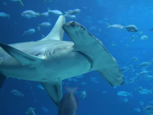 Sharks and rays - classification key