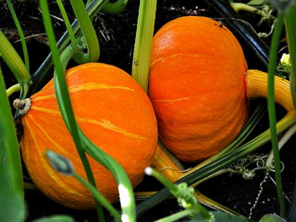 Going, Going Gone Pumpkins: Exploring the Life Cycle of a Pumpkin